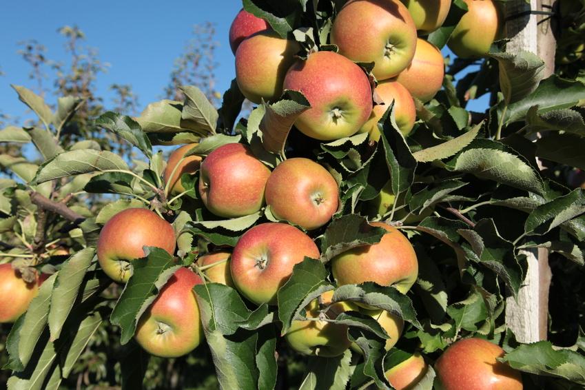 Bio Äpfel & Birnen