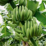 Bio Bananen Fair Trade 18kg Kiste