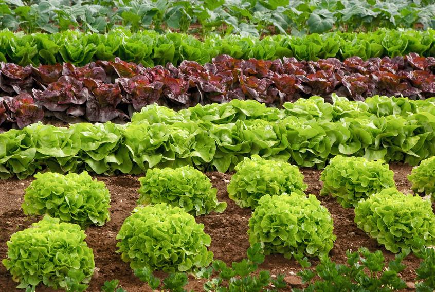 Bio Salate