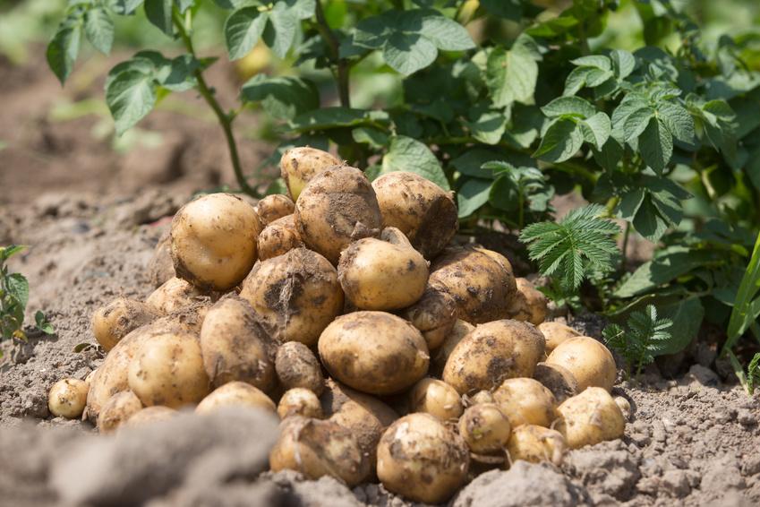 Bio Kartoffeln & Zwiebeln