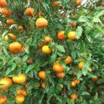 bio clementinen