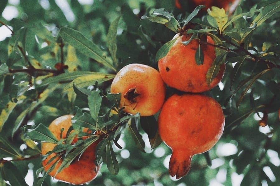 granatapfel kaufen