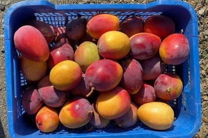 bio maango vom erzeuger kaufen