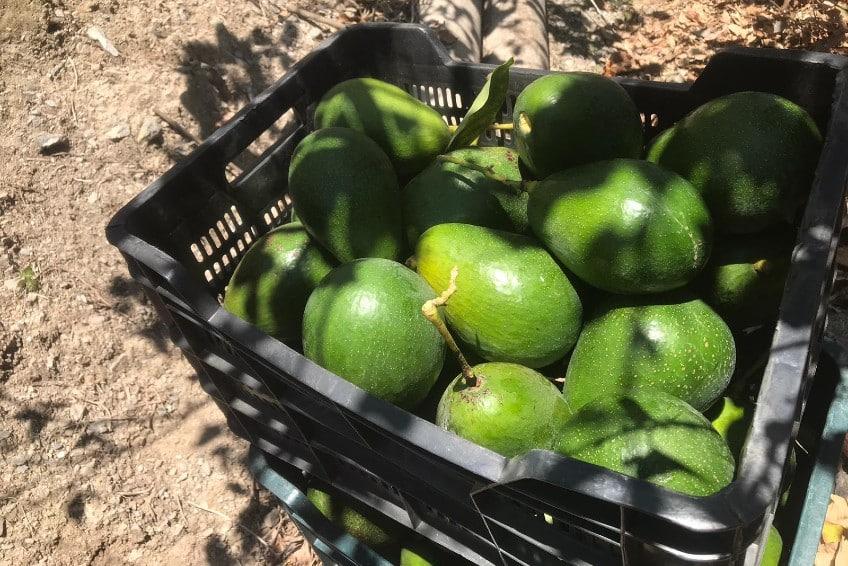avocado kaufen
