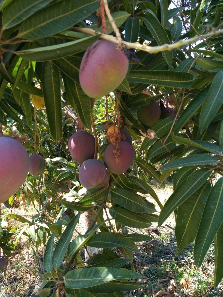 bio mangos kaufen